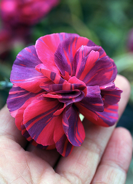 Dianthus 'Chomley Farran' in hand