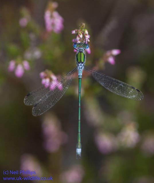 Emerald damselfly Lestes sponsa-2
