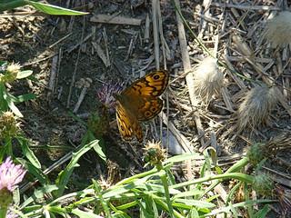 129 vlinder