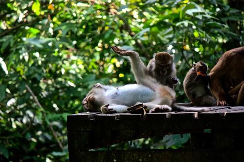 monkey food coma