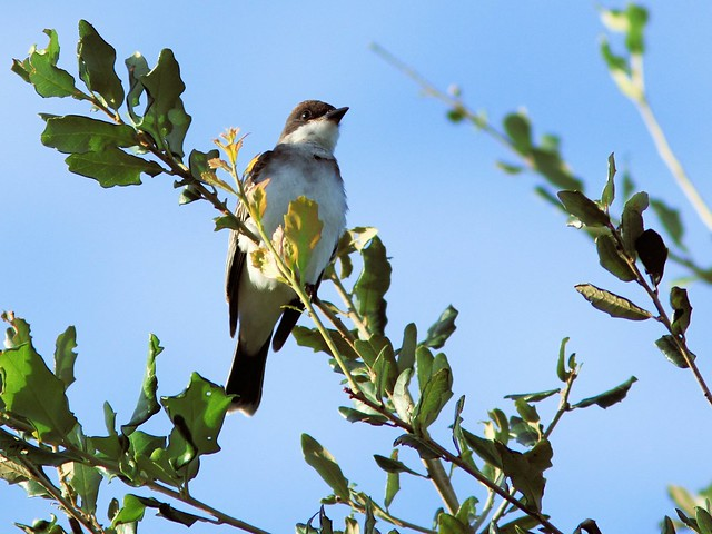 Eastern Kingbird 20130917