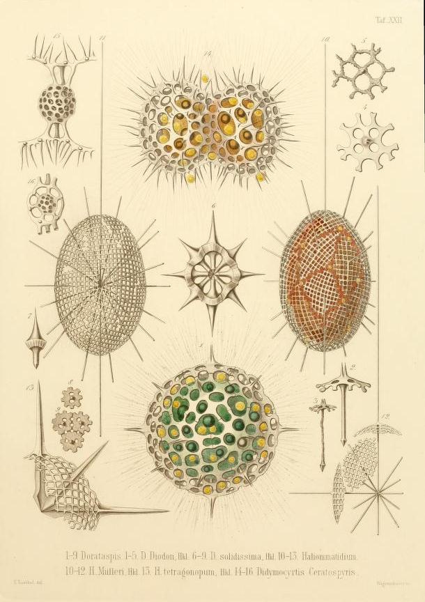 Ernst Haeckel U2019s Radiolaria  1862   U2013 The Public Domain Review
