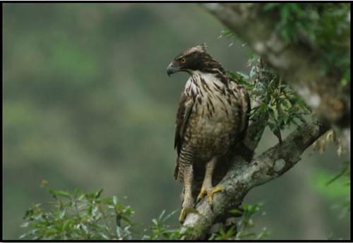 守護巢位的熊鷹親鳥(圖片攝影:黃永坤)