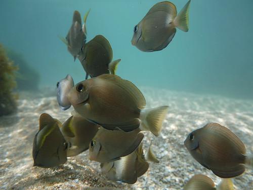 Peixe Cirurgião Marrom - Acanthurus chirurgus