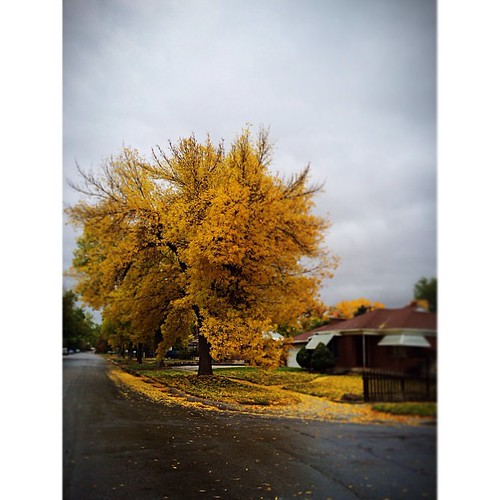 Drizzly October morning.  Isn't this tree a show off?! I just want to go run through those leaves on their grass.  #tmsfall13
