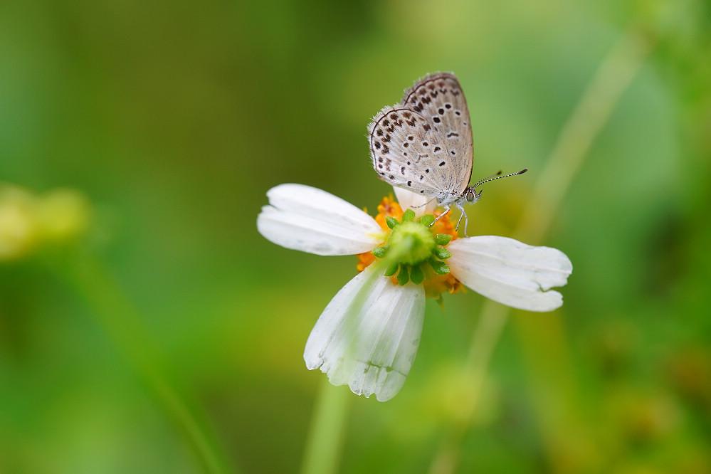 藍灰蝶屬藍灰蝶01