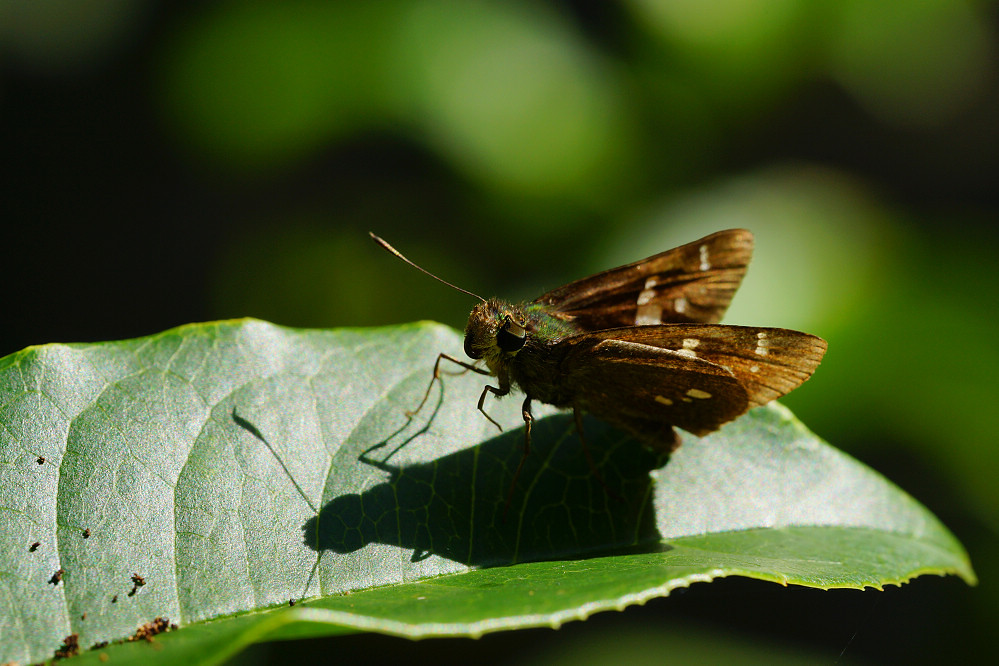 孔弄蝶屬碎紋孔弄蝶2