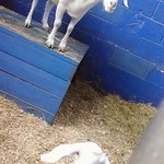 Arabian Nights Kissimmee - Goats