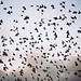 Starling Murmuration by lomokev