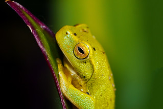 Dainty Tree Frog Closeup