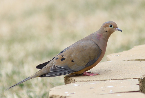Mourning Dove in Glenola, North Carolina
