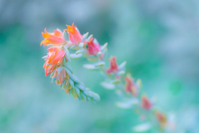 Succulent blossoms