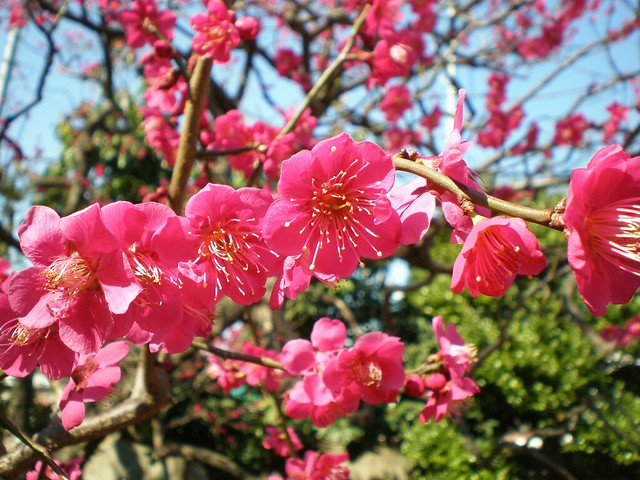 Plum Blossom at Ikegami Baien