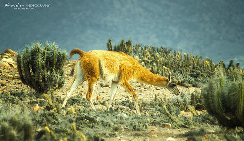 Guanaco in dreamy light