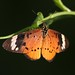 Common Acraea - Photo (c) Martin Grimm, all rights reserved