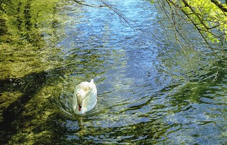 A swan on the river Blau