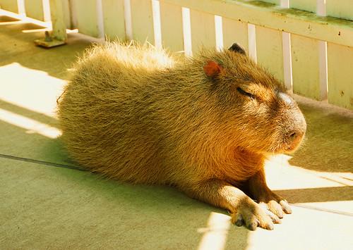 Photo:Capybara By:yhy_jp