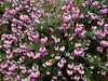 Dopheide, sneeuwheide, winterheide - Erica carnea II