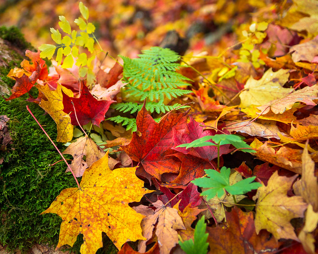 Fall, Autumn, Leaves, Leaf, Fall Foliage, Autumn Foliage