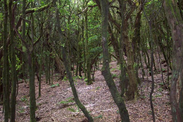 Bosque de laurisilva. © Paco Bellido, 2003