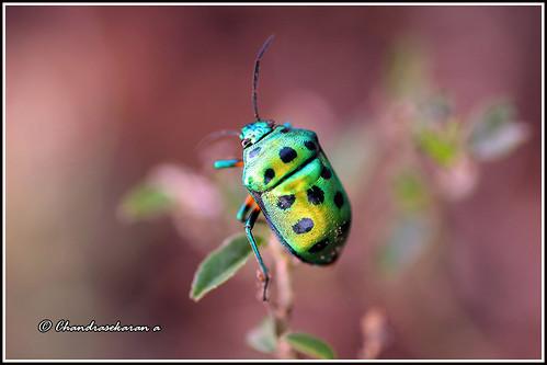 4919 - green jewel bug (Chrysocoris stolli)