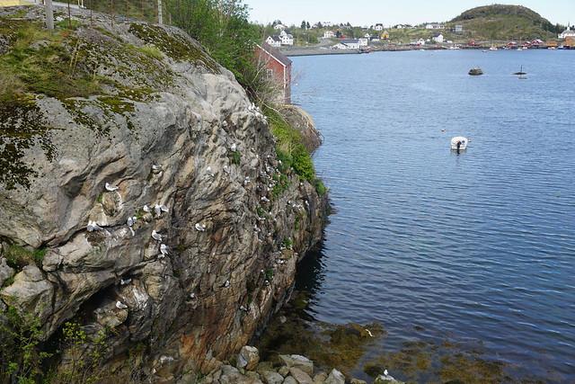 Nesting seagulls
