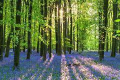 Bluebells at Ashridge wood
