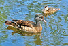 Wood Duck Hen And Duckling 16-0529-0092 by digitalmarbles