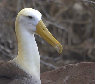 Waved Albatross (Phoebastria irrorata)