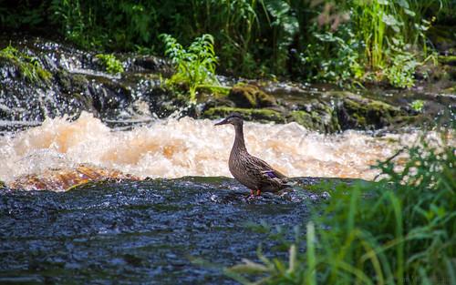 summer green bird nature suomi finland river rapids mallard noormarkku tamronaf18200mmf3563xrdiiildasphericalif noormarkunjoki