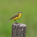 Yellow Wagtail (R. Davidson)