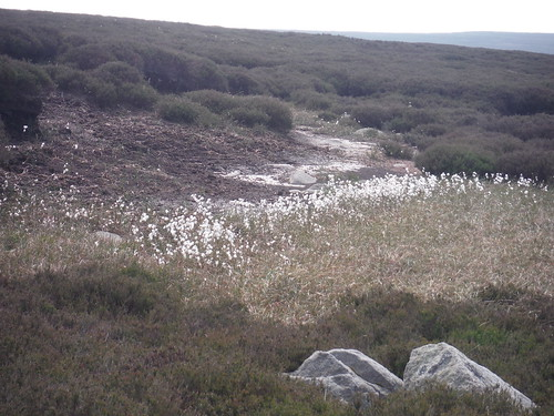 Cottongrass, Burbage Moor