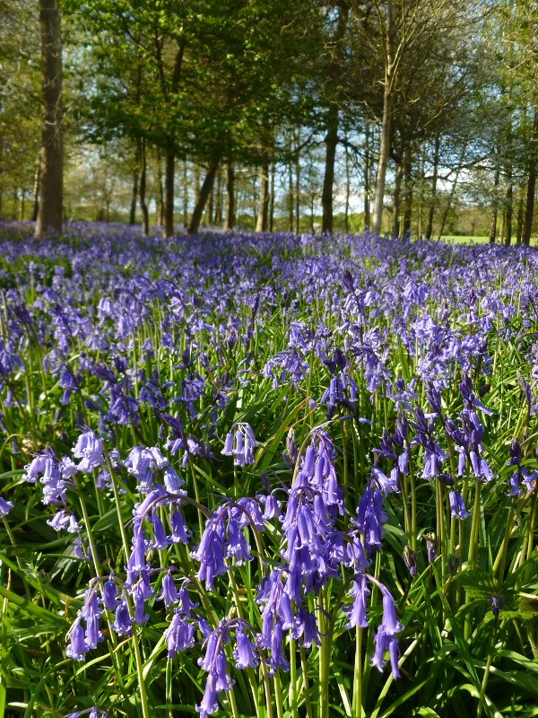 Greys Court bluebells 1