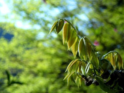 Wisteria's new leaf#1