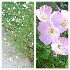 For @kelcuster  Left is Santa Barbara Daisy, right is evening primrose. They bloom February through October.  #flowers