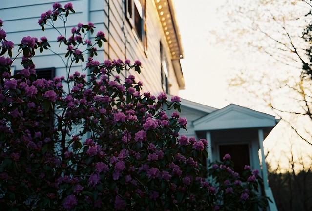 dusky rhodedendron.