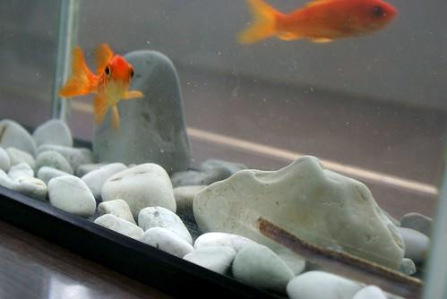 グッピーと金魚