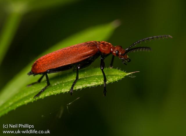 Cardinal beetle Pyrochroa serraticornis 4