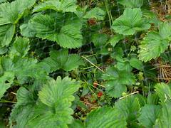 annual plant, garden, leaf, plant, urtica,