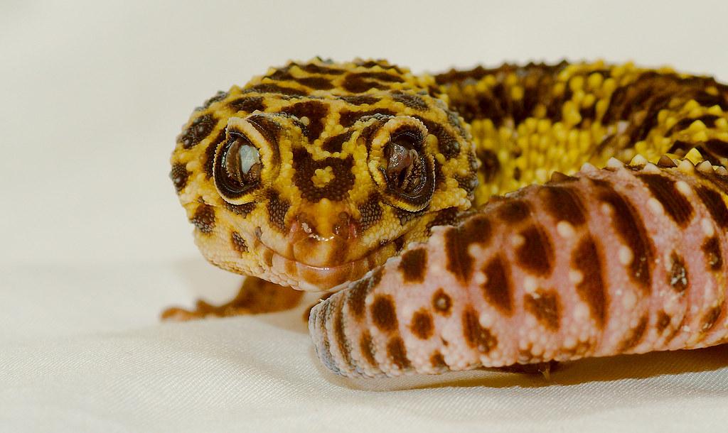 Leopard Gecko (Eublepharis macularius)_3