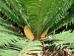 Encephalartos kisambo, Zamiaceae