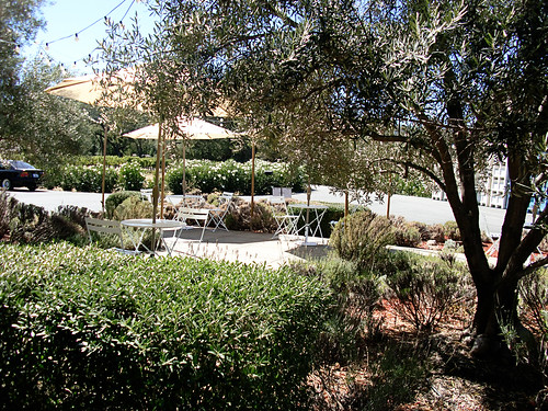 Olive Tree and Lavender at Envy Winery