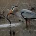 1st Place - Novice - Jo Dodd - Great Blue Heron