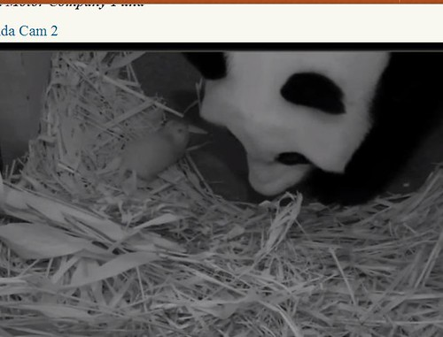 Mei Xiang and cub in straw in den