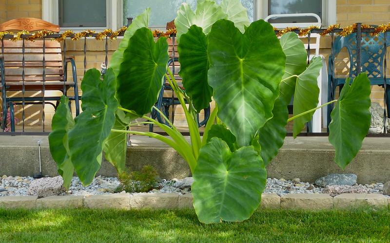 Colocasia, a.k.a. Elephant ear, Taro, Cocoyam, Dasheen, Chembu, etc., Wayne