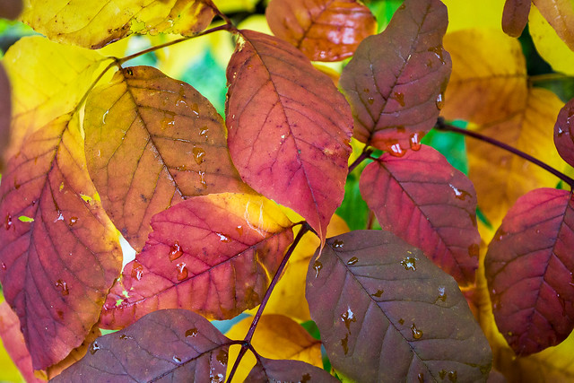 Fall, Autumn, Leaf, Leaves, Color, Red, Orange, Yellow