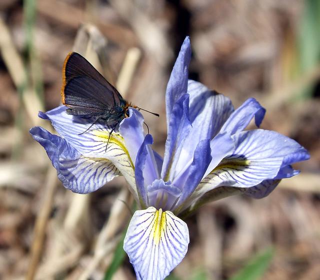 Header of Amblyscirtes fimbriata