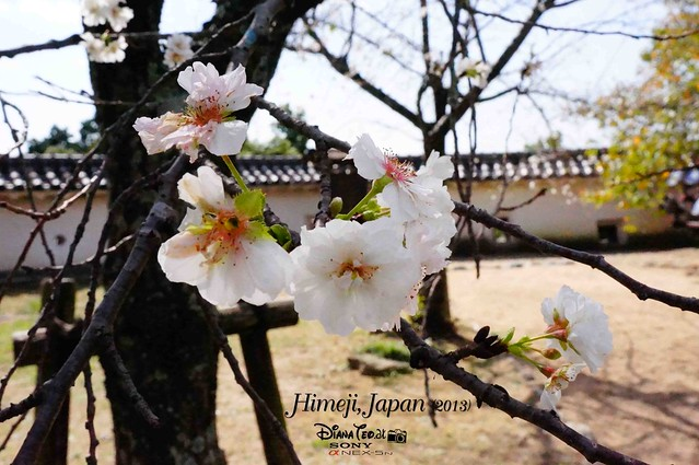 Japan Himeji Sakura 01