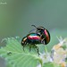 Dead-nettle Leaf Beetle - Photo (c) Marcello Consolo, some rights reserved (CC BY-NC-SA)
