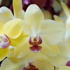 flower, yellow, orchid family, phalaenopsis equestris, flora, petal,
